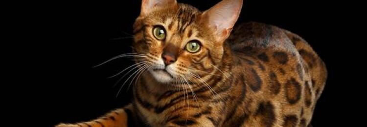 Бенгальская кошка: описание и особенности породы, характер, дрессировка и уход