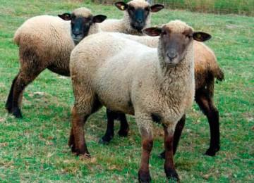 Горьковская порода овец