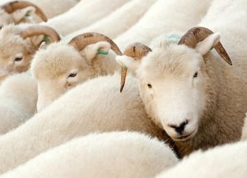 Породы белых овец