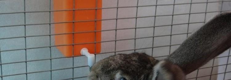 Как быстро приучить кролика к поилке?