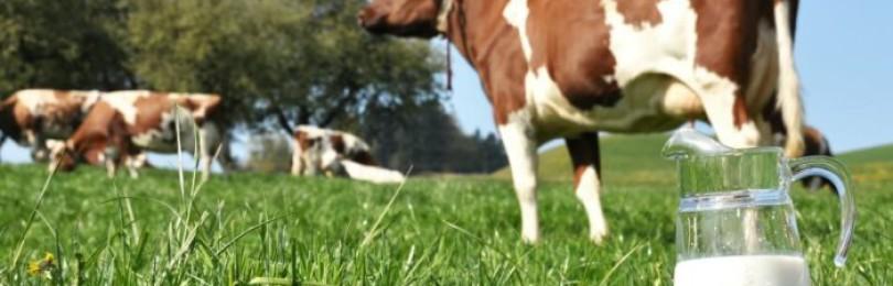 Породы коров молочного направления