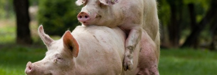 Охота у свиней