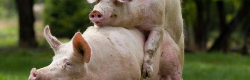 Через сколько дней гуляет свинья, как узнать когда гуляет свинья
