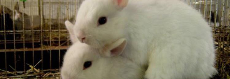 Что такое ложная беременность у кроликов, как отличить её от настоящей?