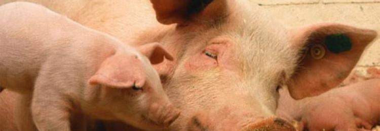 Основные породы свиней для разведения