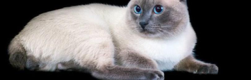 Кошка меконгский бобтейл
