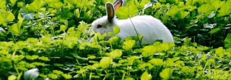 Как правильно кормить кроликов лебедой?