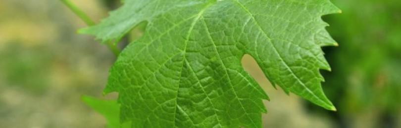 Виноградные листья кроликам: польза и вред, как давать?