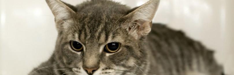 Почему кошка рвёт после еды и чем её лечить?
