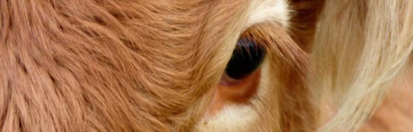 Чем лечить бельмо на глазу у коровы?