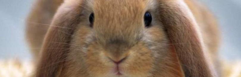 Сколько раз в день и как крольчиха кормит крольчат?