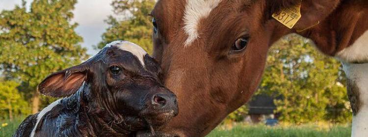 Распространённые болезни коров после отёла