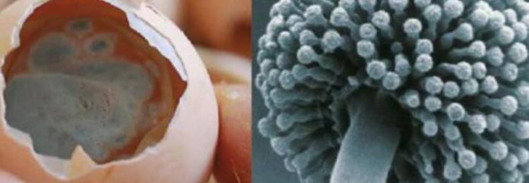 Лечение аспергиллёза у кур