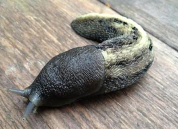 Кто съедает листья рассады капусты и срезает ножку под корень?