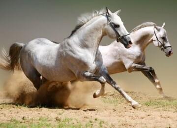Виды бега лошади