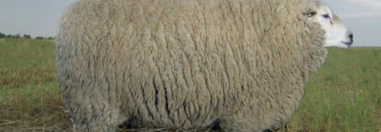 Порода овец ташлинская