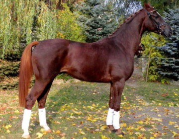 Великопольская порода лошадей
