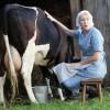 Как отучить корову лягаться во время доения?
