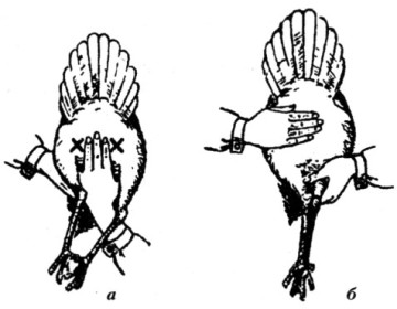 Подбор производителей и комплектование семьи домашних птиц