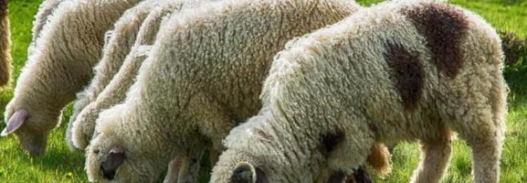 Разведение овец как бизнес