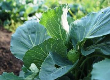 Подкормка капусты в открытом грунте: чем, когда и как
