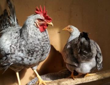 Описание Борковской барвистой породы кур