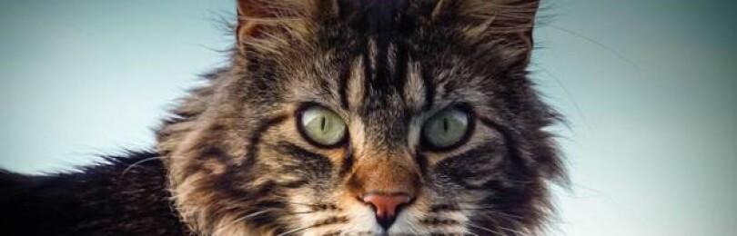 Мейн-кун — все о кошке, описание породы, характер, фото, особенности содержания и уходы