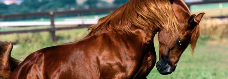 Англо-арабская лошадь