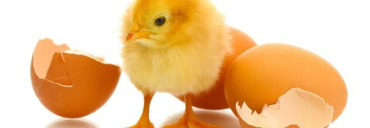 Помогать ли цыплёнку вылупиться из яйца?