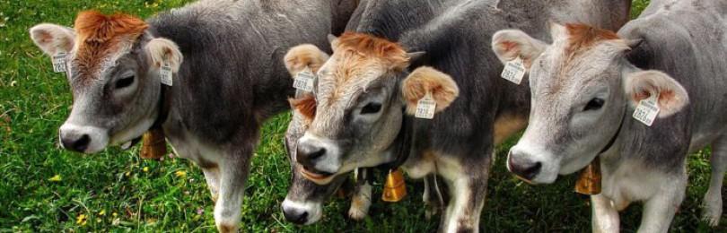 Эймериоз у крупного рогатого скота