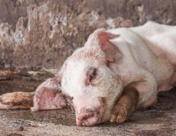 Что такое саркоптоз свиней и как его лечить?
