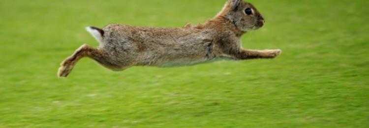 Как отличить кролика от зайца?
