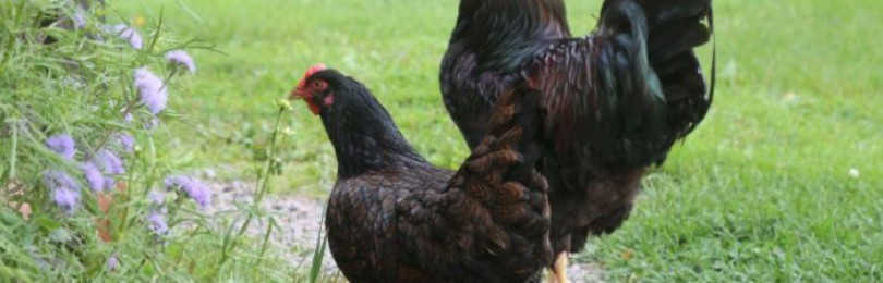 Голландские породы кур