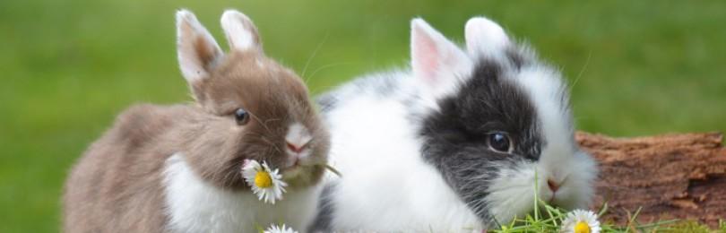 Можно ли кормить кроликов ромашкой?