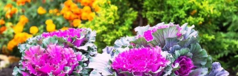 Лучшие сорта декоративной капусты с описанием и фото
