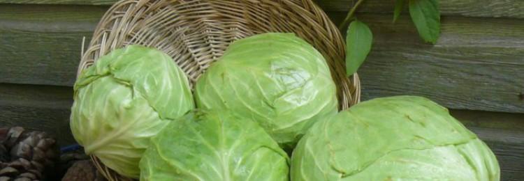 Лучшие сорта белокочанной капусты с описанием