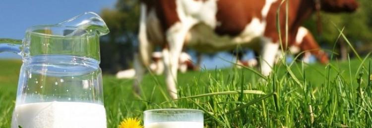 Когда корова начинает давать молоко первый раз?