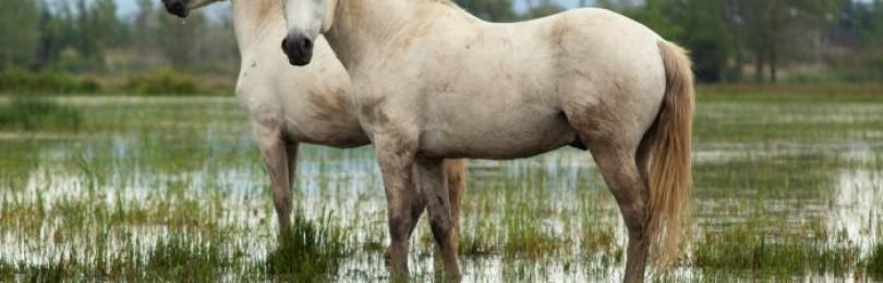Порода лошадей Камаргу