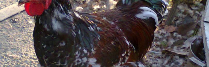 Ливенская порода кур