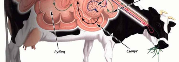 Строение желудка и пищеварительная система коровы