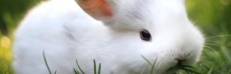 Как давать полынь кроликам?