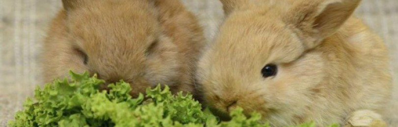Можно ли кормить кроликов зеленью петрушки?