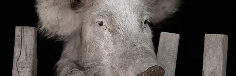 Заболевание свиной грипп у свиней