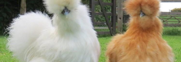 Красивые породы кур