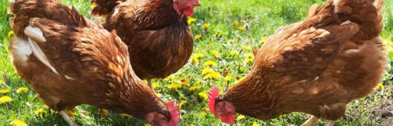 Какая трава полезна для кур