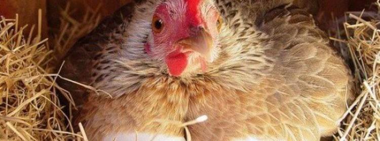 Сколько яиц несет курица несушка?