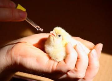 Чем пропоить цыплят для профилактики?