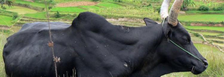 Корова зебу