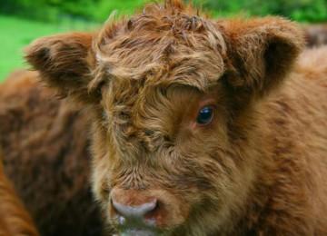 Шотландская порода коров