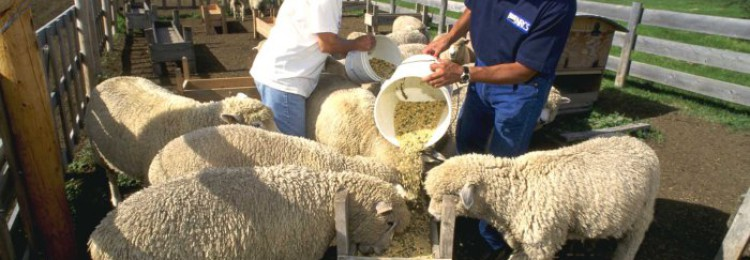 Откорм овец